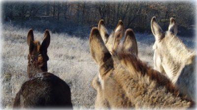 Nos ânes, les grandes oreilles